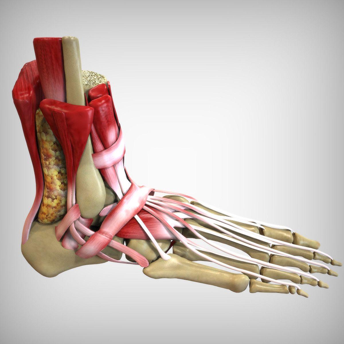 human foot anatomy 3d model   3d printing   Pinterest