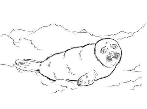 Tierna Foca De Groenlandia Dibujo Para Colorear Paginas Para Colorear Foca De Groenlandia Dibujos Para Colorear