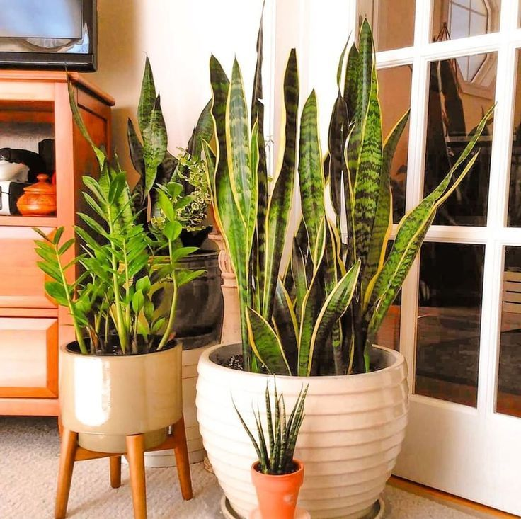 Sansevierias also called Snake Plants are super easy to care for and dont need Sansevierias also called Snake Plants are super easy to care for and dont need