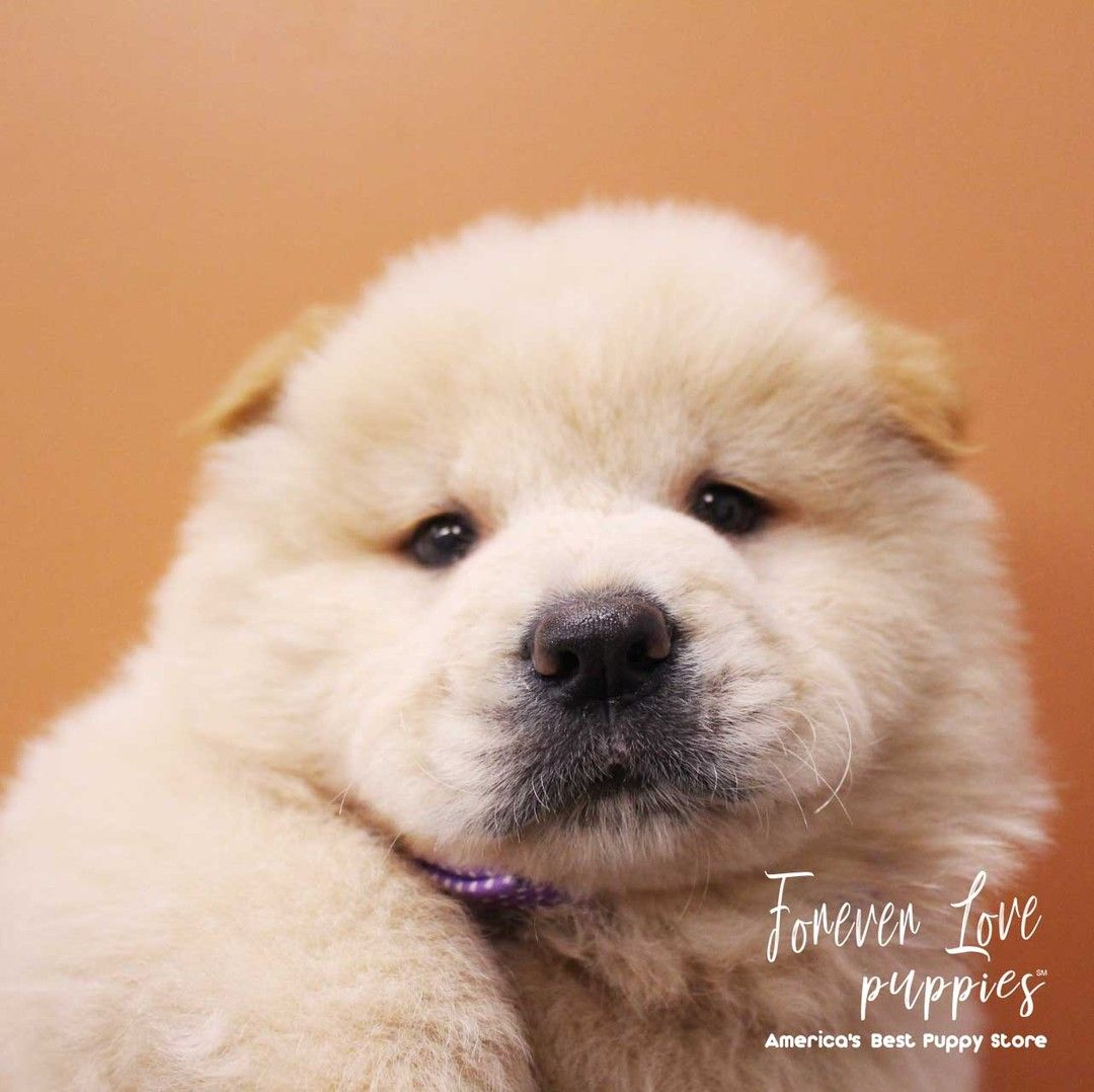 Pin On Forever Love Puppies Experience