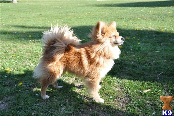Paperanian Pomeranian X Papillon Pomeranian Chihuahua Mix