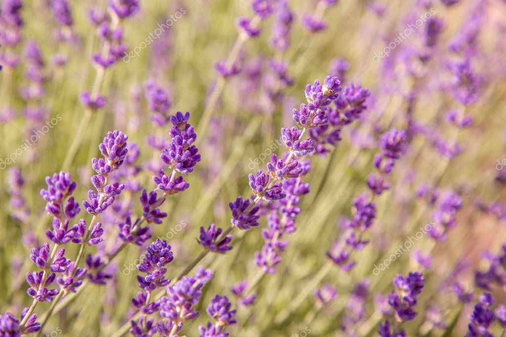 Beautiful Summer View Lavender Flowers Stock Photo Ad View Summer Beautiful Lavender Ad Lavender Flowers Beautiful Summer Flower Photos