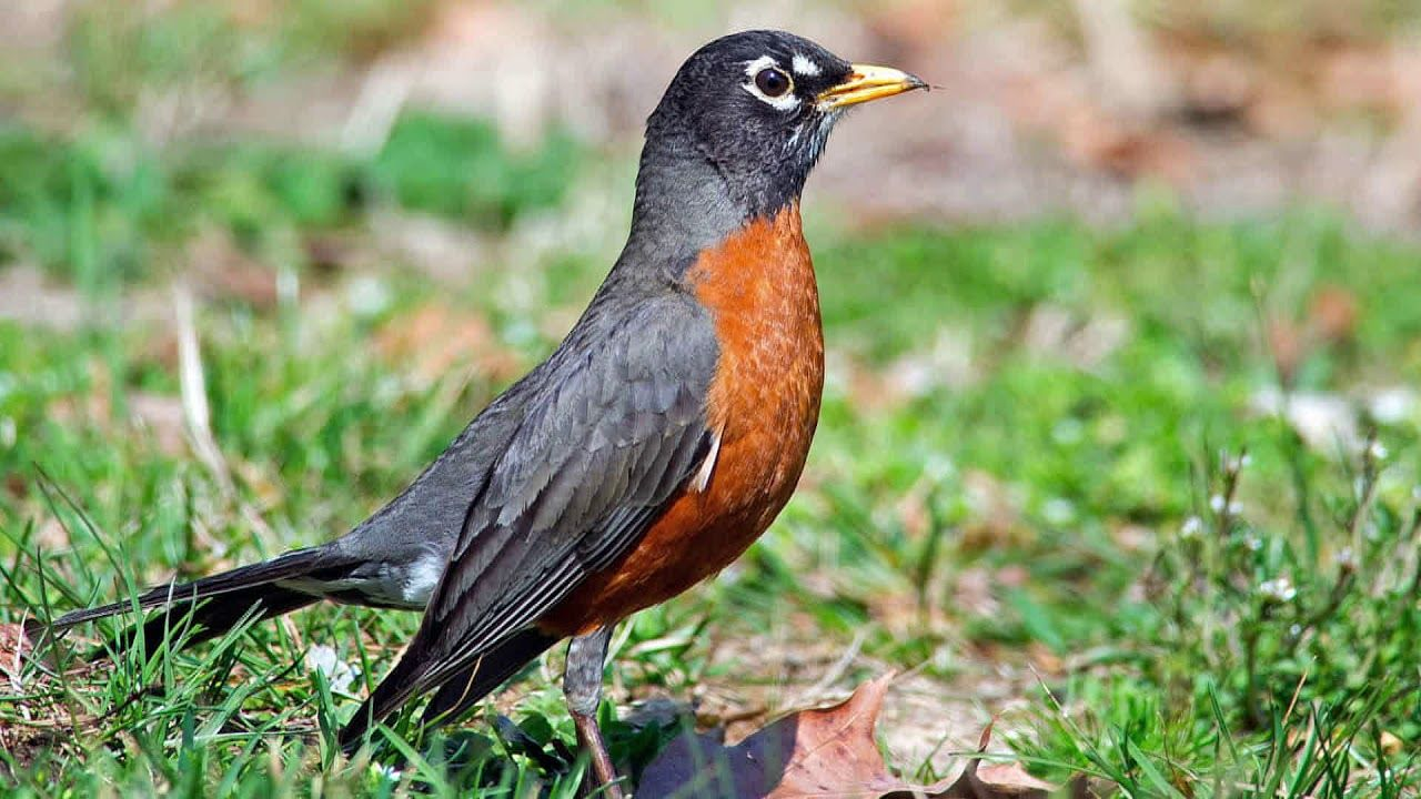 American Robin Bird Song/Sound Natural sound of singing