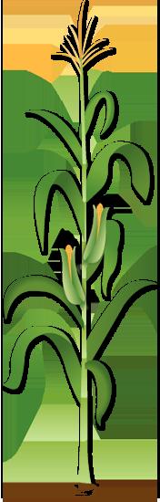 Image Of Illustrated Corn Stalk Isolated Corn Plant Corn Stalks Corn Drawing
