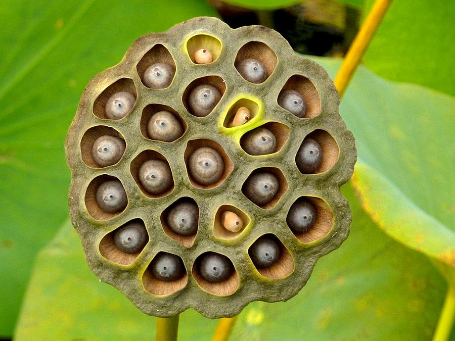 What Is Trypophobia And Is It Real Gardens Parks Lotus Pods
