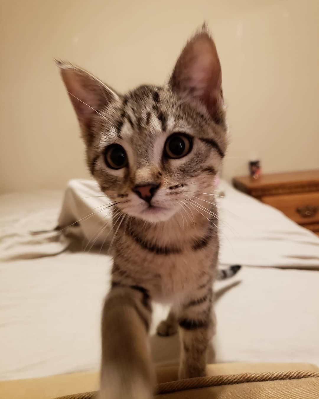 The Kitten Agent On Instagram This Sweet Girl Is Coming Right At Ya Make Sure To Swipe For An Adorable Close Up So Just A M Kitten Sweet Girls Adorable