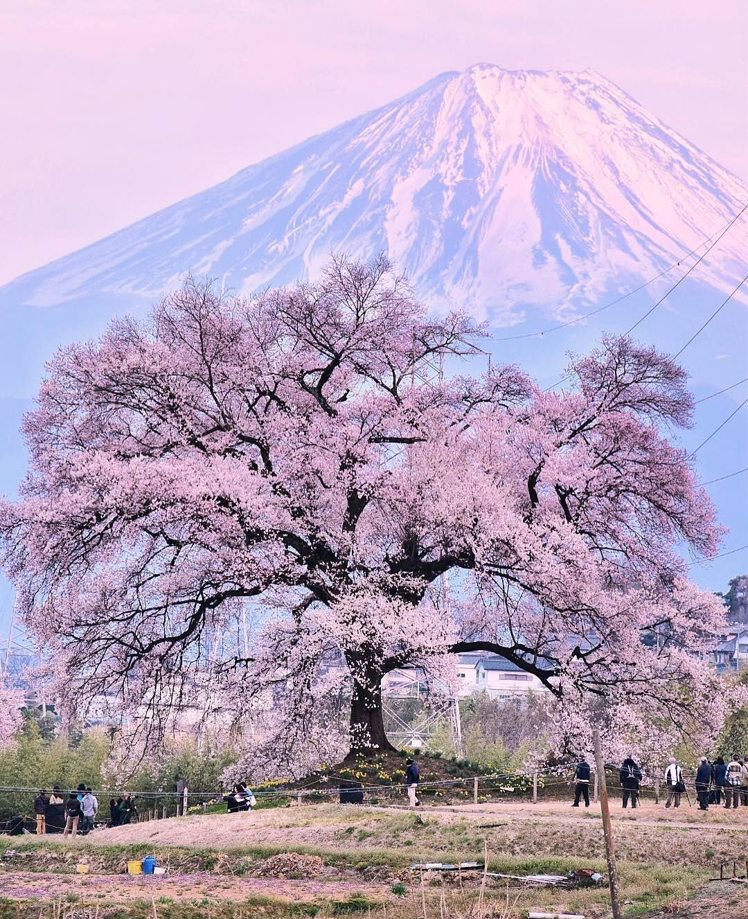 Japan Travel The Jindaizakura Tree In Hokuto City Yamanashi Is One Of Japan S Three Great Ch Cherryblossom Flowersof Japan Travel Japan Sakura Japan