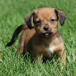 Adopt Garnet On Petfinder Dog Adoption Dachshund Mix Dogs