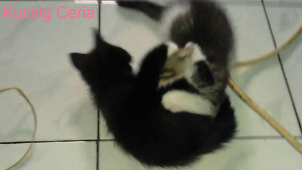 Anak Kucing Kitten Persia Mix Kampung Bermain Lucu Kucing Ceria Anak Kucing Kucing Lucu Kucing