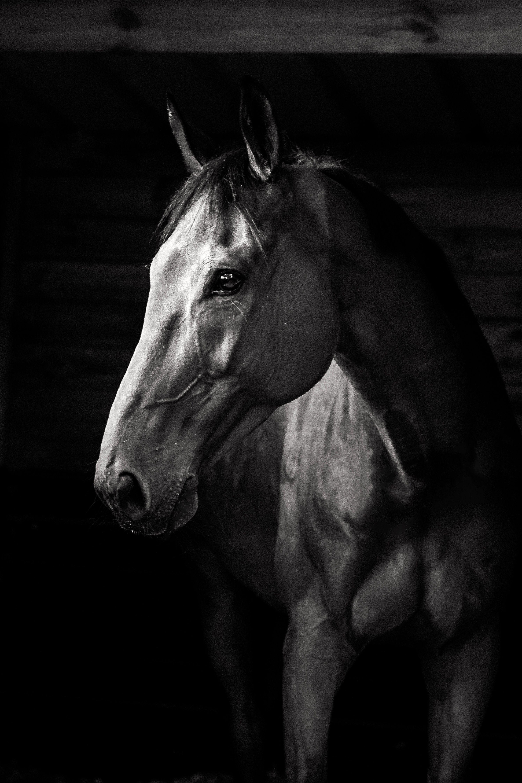 Race Horse Portrait Image Cheval Cheval De Course Cheval Noir Et Blanc