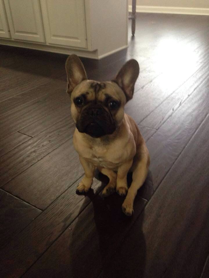 Lostdog 4 12 14 Pensacola Fl Frenchbulldog 1 Year Old 12th