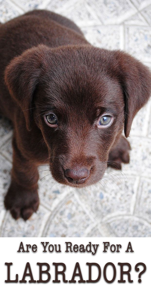 Are you ready for a Lab puppy? 6 things to consider before buying a Labrador puppy.