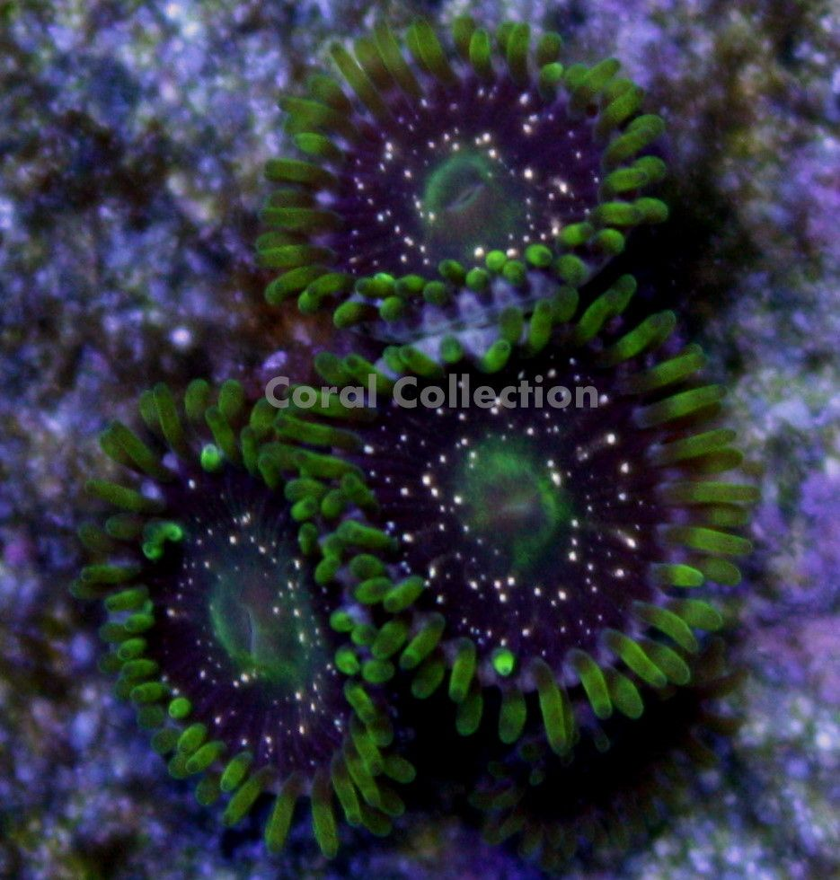 Gold Dust Zoa Gold Sprinkles Gold Coral