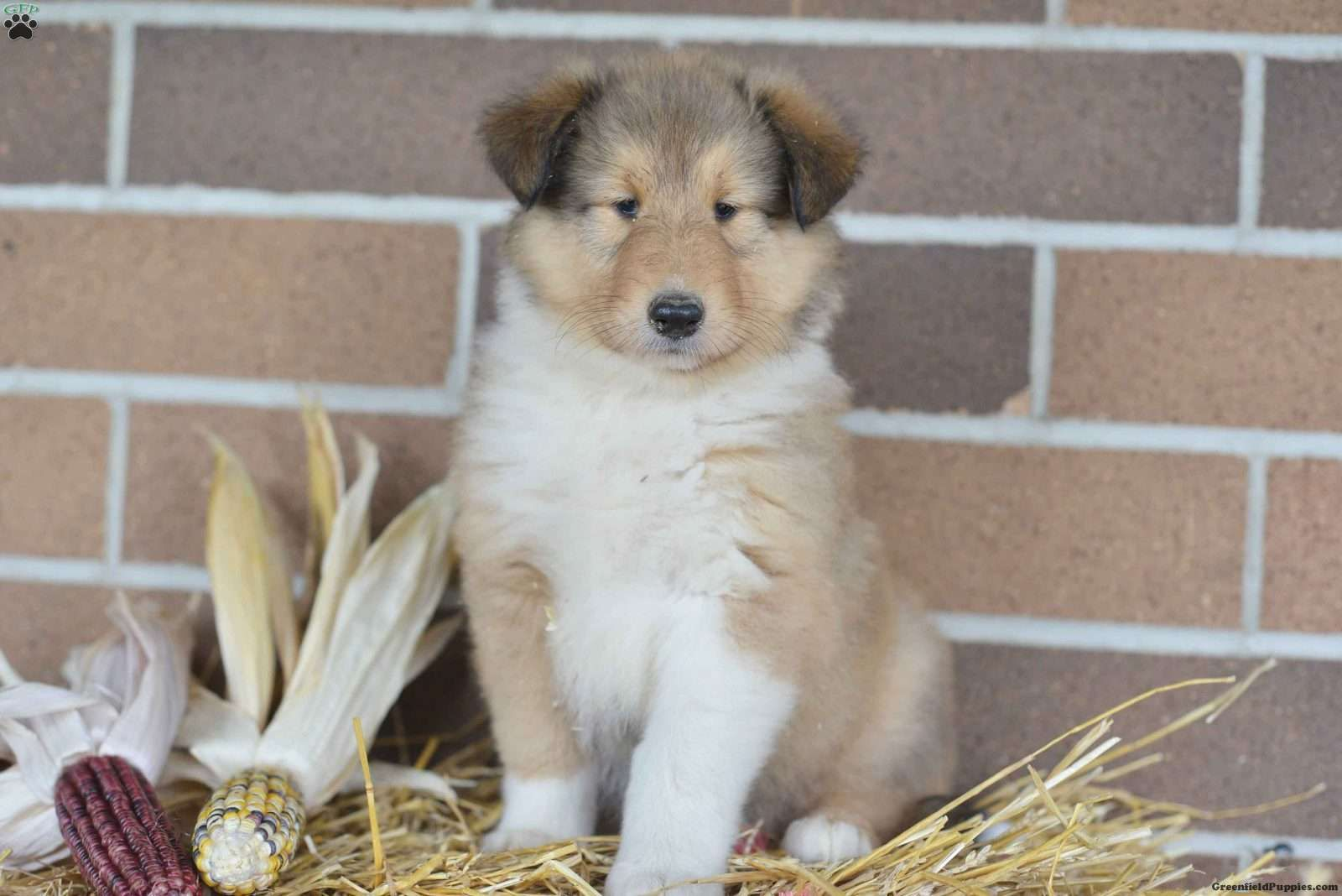 Mindy Collie Puppy For Sale in Ohio Collie puppies for