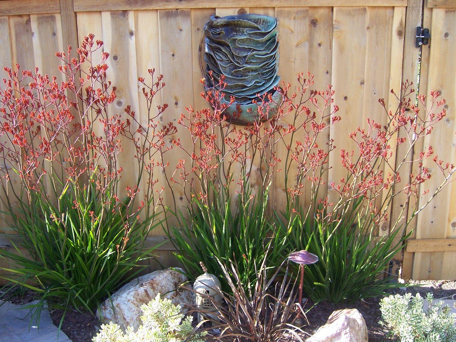 Red Kangaroo Paw (Anigozanthos flavidus) | Great Gardens & Ideas ...