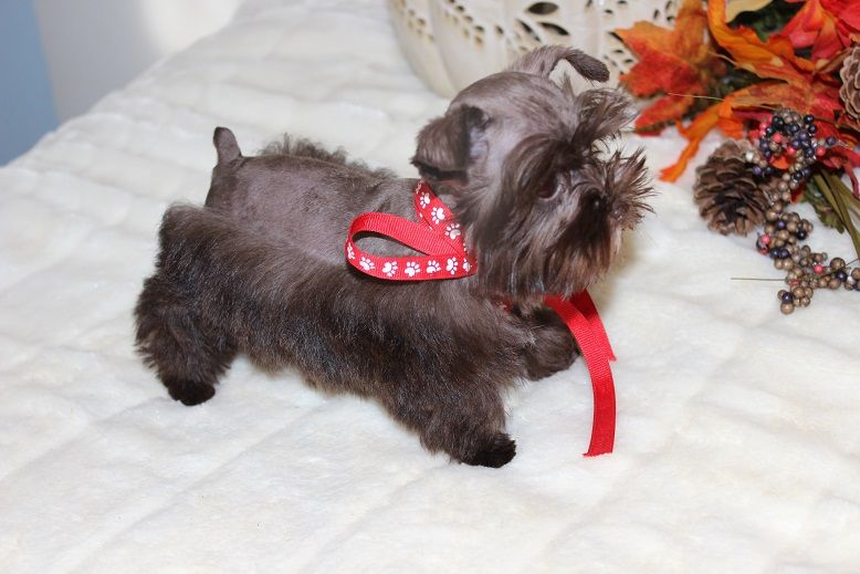 Toy Teacup And Miniature Schnauzer Puppies For Sale Oklahoma In