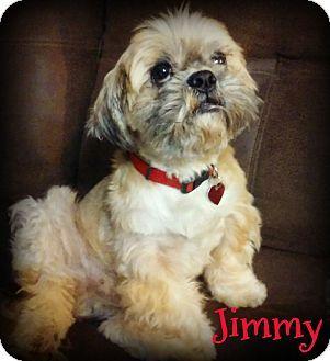 Shih Tzu Dog For Adoption In Phoenix Arizona Jimmy Shih Tzu Dogs Shih Tzu Dog