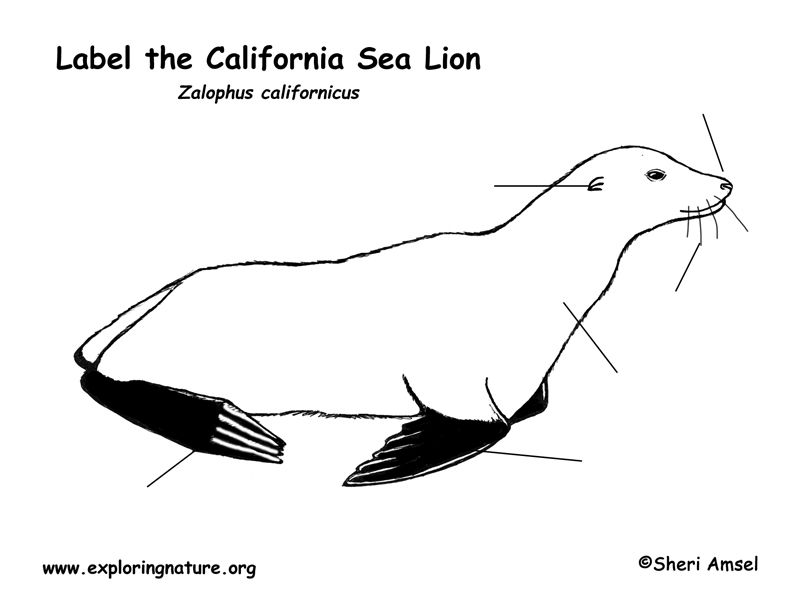Sea Lion Labeling Page Sea Lion Elephant Seal Sea