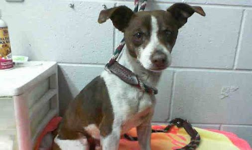 A475365 Release date 11/8 I am a male, brown and white