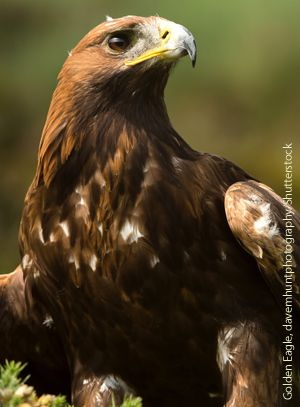 Golden Eagle by davemhuntphotography/Shutterstock