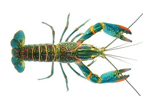 Live Australian Red Claw Crayfish Breeding Colony, Freshwater