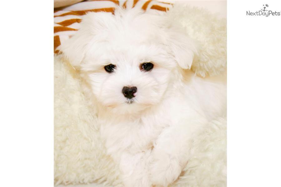 Meet Snowflake A Cute Maltese Puppy For Sale For 699 Teacup Snowflake Our Female Maltese Maltese Puppy Maltese Puppies For Sale Maltese