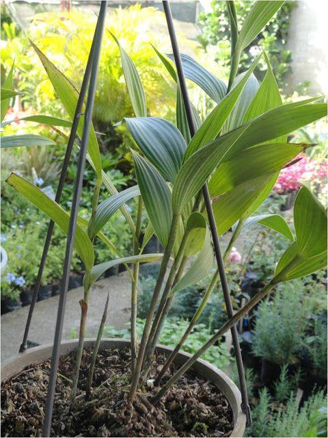 Vida A Lo Verde Living In Green Orquídeas Para Sembrar En Tierra Sobralia Mirabilis Es Una Orquíd Orquideas De Tierra Cultivo De Orquídeas Sembrar Orquideas