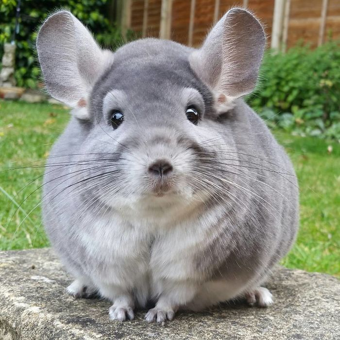 You Re Amazing Animals: These Chinchillas' Butts Are So Round, They Look Fake
