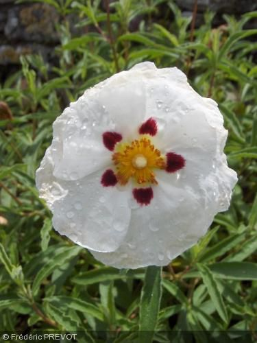 Cistus X Purpureus Alan Fradd Ciste Pourpre à Fleur Blanche