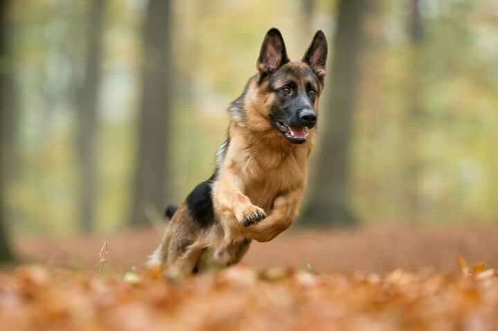 German Shepherd Loyal Dog Breeds German Shepherd Dogs