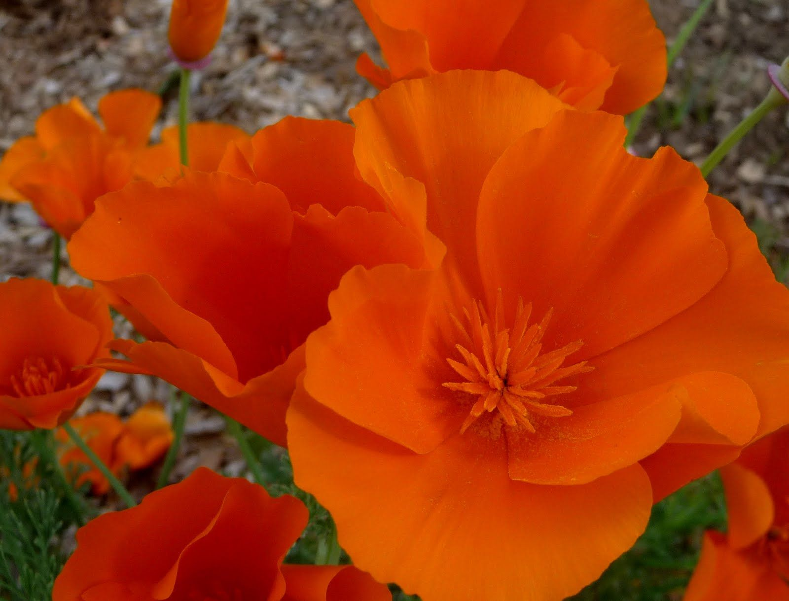 California Cool California Poppies Eschsholtzia Californica Is