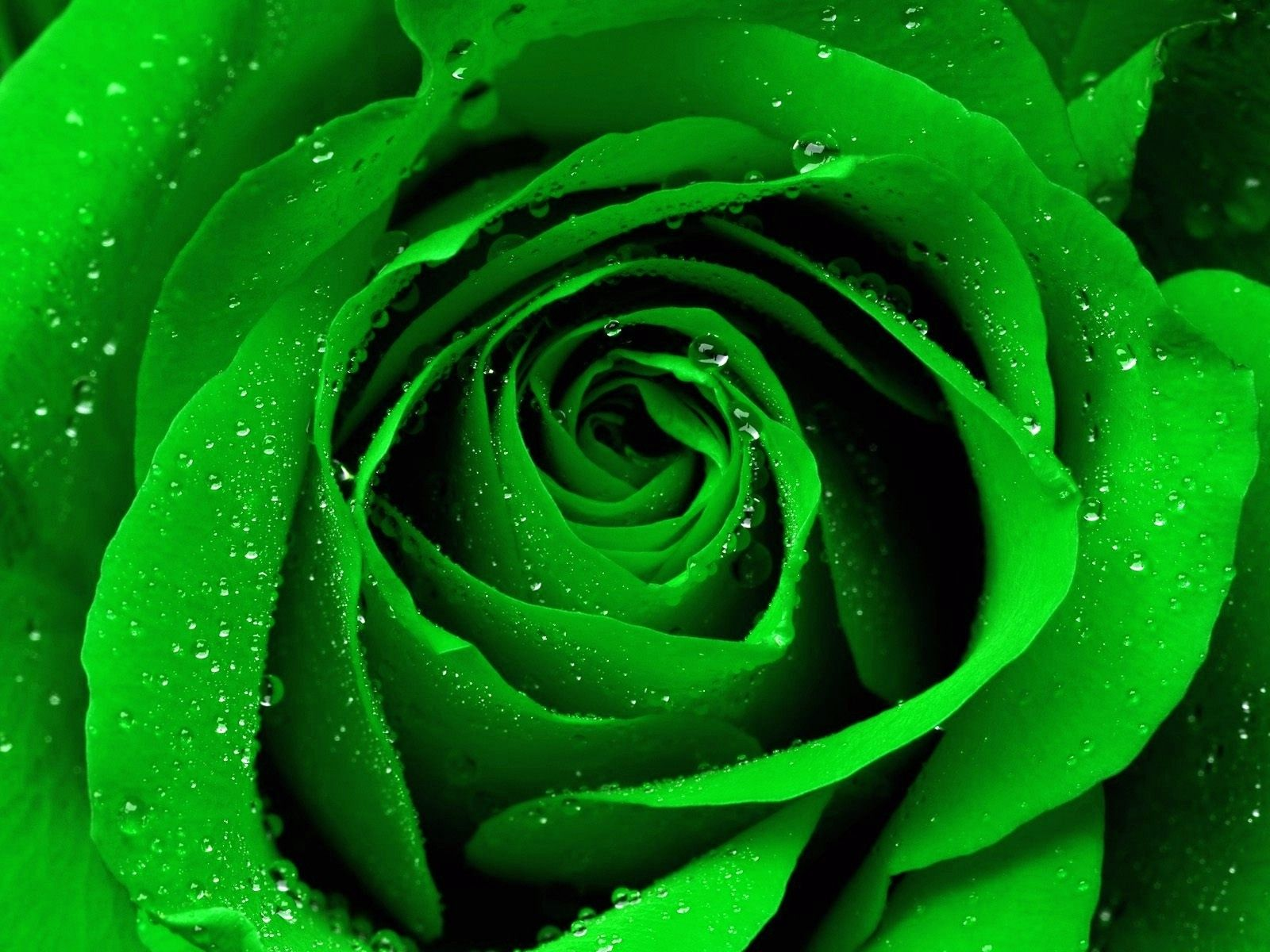 The Meaning and Top 19 Beautiful Green Roses | Green rose and Gardens