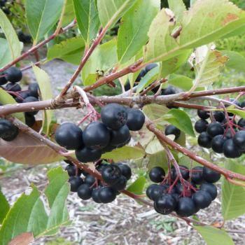 aronia prunifolia viking aronia berry pinterest. Black Bedroom Furniture Sets. Home Design Ideas