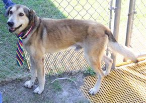 Sparticus Urgent Barc Animal Shelter In Houston Texas Adopt Or Foster 6 Year Old Neutered Male German Shepherd Lab Animal Shelter Animals Dog Adoption
