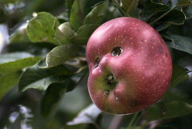 ドッキリ!りんごの悲しい顔のスマホ壁紙