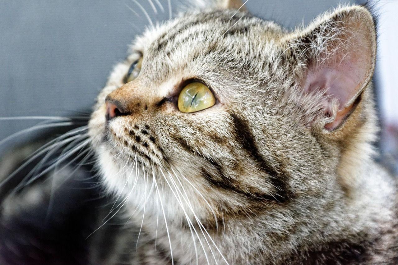 4de493d406ab Δωρεάν εικόνα στο Pixabay - Γάτα