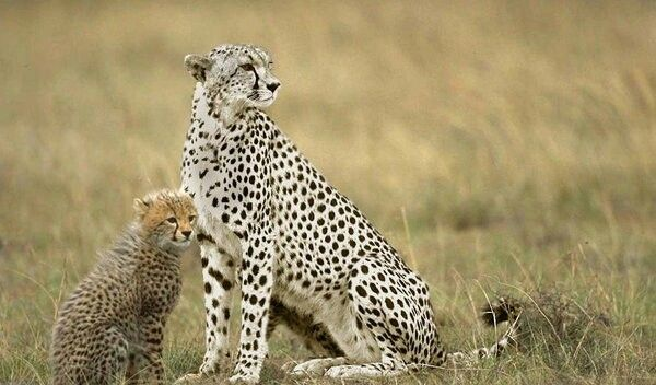 Cute Animals Playing Soccer Wallpaper White Cheetahs Cheetahs Cheetah Animals