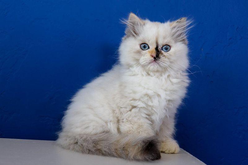 Ragdoll Kittens For Sale Near Me Buy Ragdoll Kitten Www