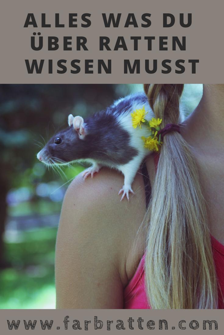 Ratten Ratgeber Ratten Als Haustiere Farbratten Com Tipps Tricks Um Ratten Als Haustiere Zu Halten Kosten Zeita Farbratten Haustiere Ratte Haustier