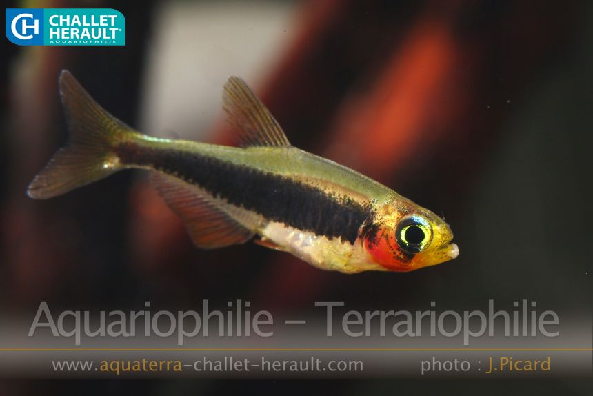 Photos Challet Herault Aquariophilie Terrariophilie Aquarium Fish Tropical Fish Beautiful Fish
