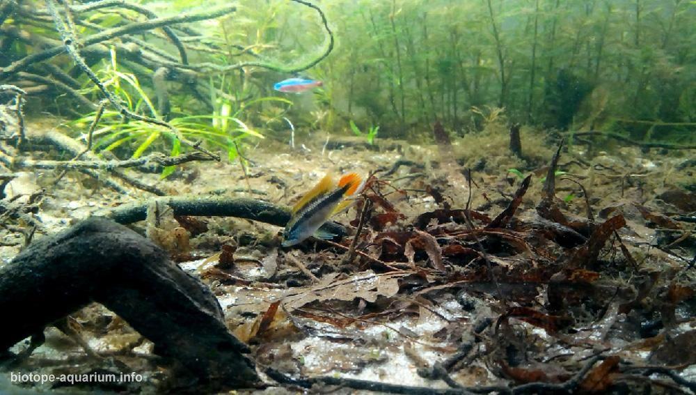 Clarity branch of a river amazon 120 l biotope for Amazon aquarium fish