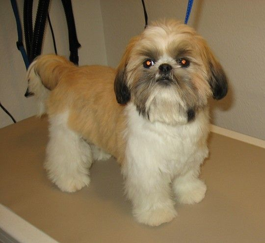 teddy haircut for shih tzu shih tzu teddy cut shih tzu teddy 4468