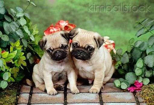 Two Pug Puppies Sitting On Mat By Flowers And Foliage Cute Pug