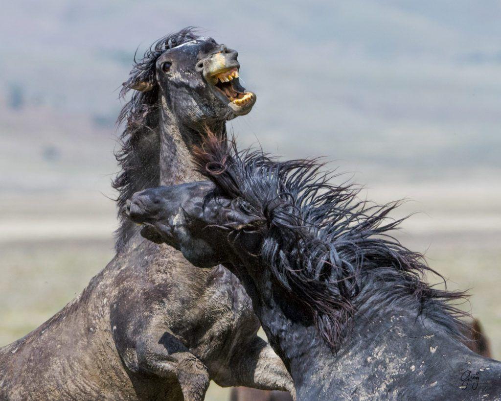 Wild Horses Fighting - Onaqui Herd | Animaux, Cheval, Photos