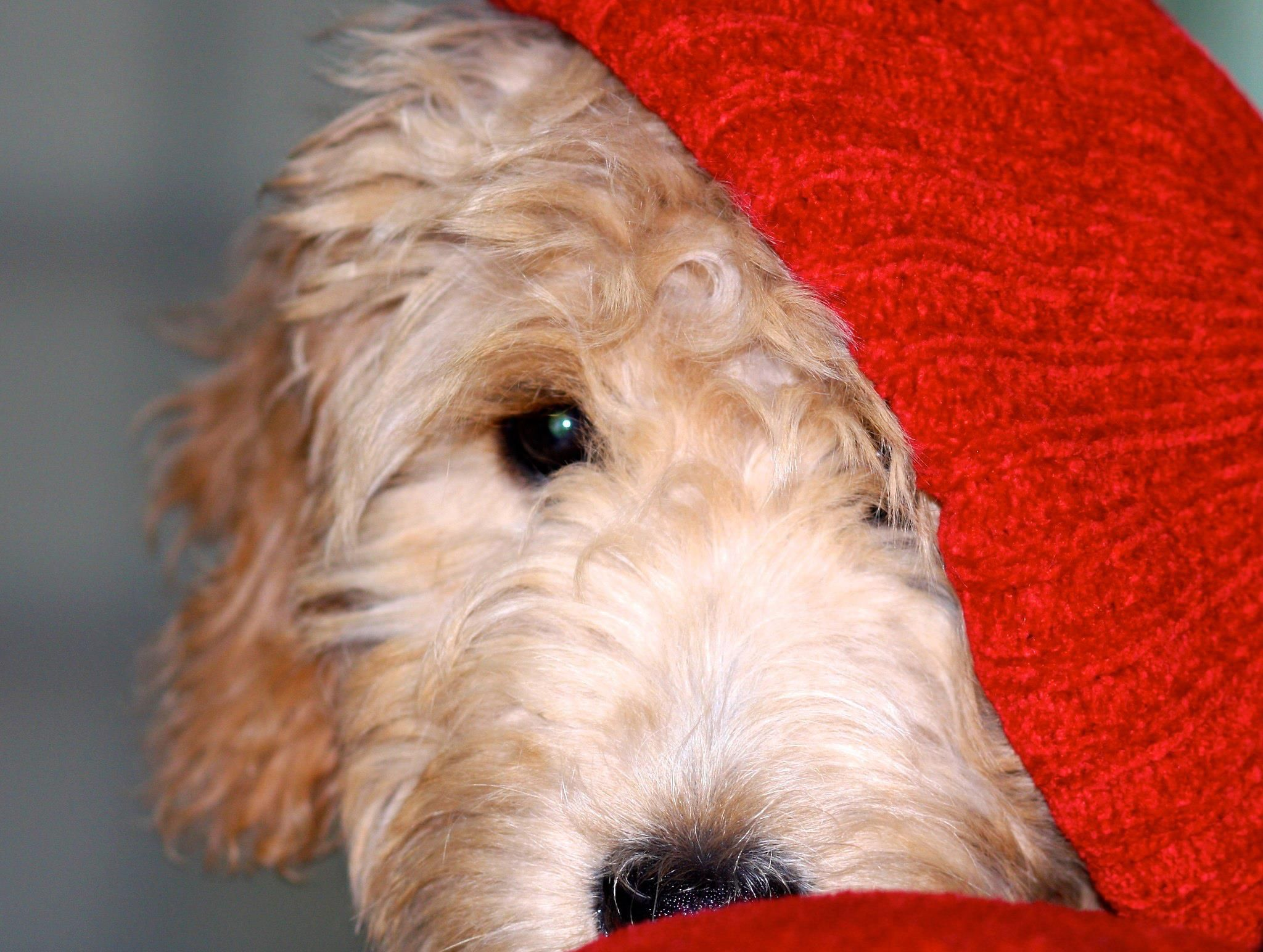 Aubrey English Goldendoodle
