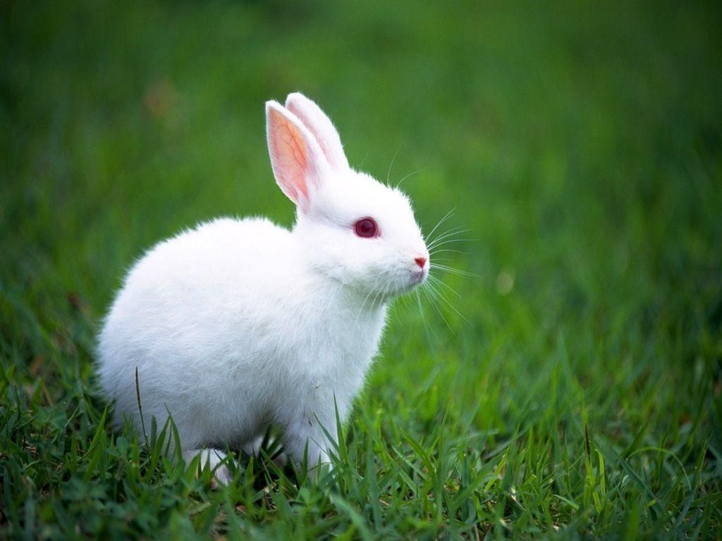 Rabbitimages Google Search Cute Baby Bunnies Albino Animals Rabbit Pictures