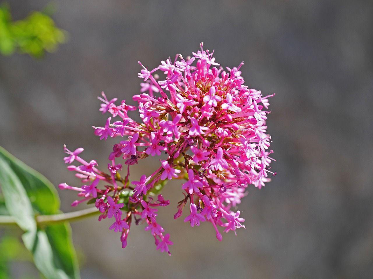 France, Alpine Shrub, Roadside, Flowering Time france,