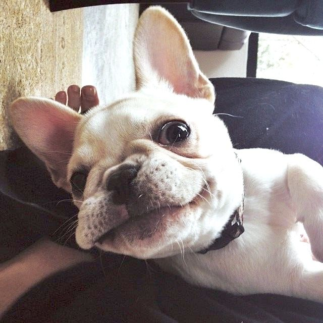 French Bulldog Puppy S First Selfie Cute Animals Bulldog Puppies