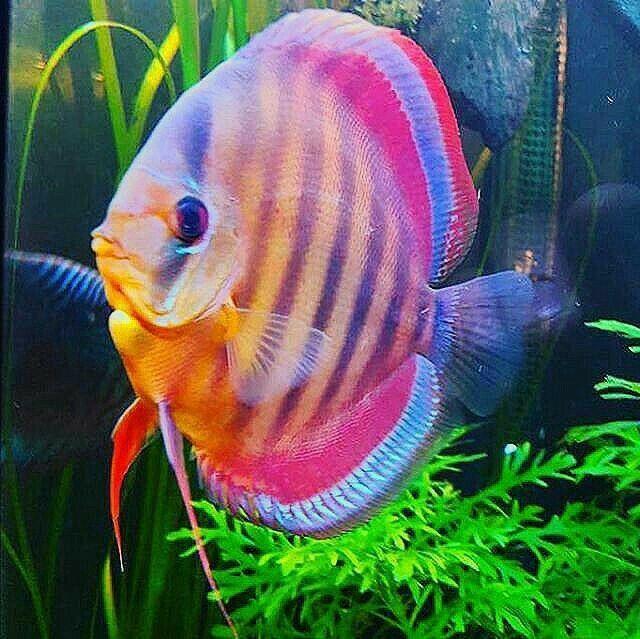 Pin By Cynthia Na On Cantiknya Ikan Ikan Hias Beautiful Tropical Fish Discus Fish Tropical Freshwater Fish