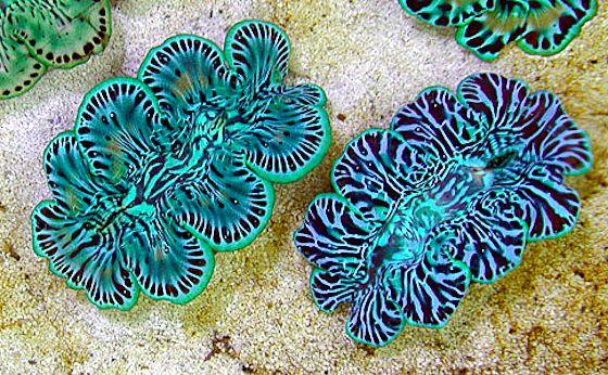 Share Tweet Pin Mail Cook Island Aquacultured Clams Are Set To Return To The U S Aquarium Market Thanks To The Efforts Of Livesto Marine Aquarium Coral Reef Aquarium Ocean Creatures